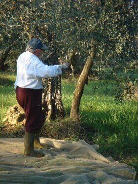 olives harvest by hand