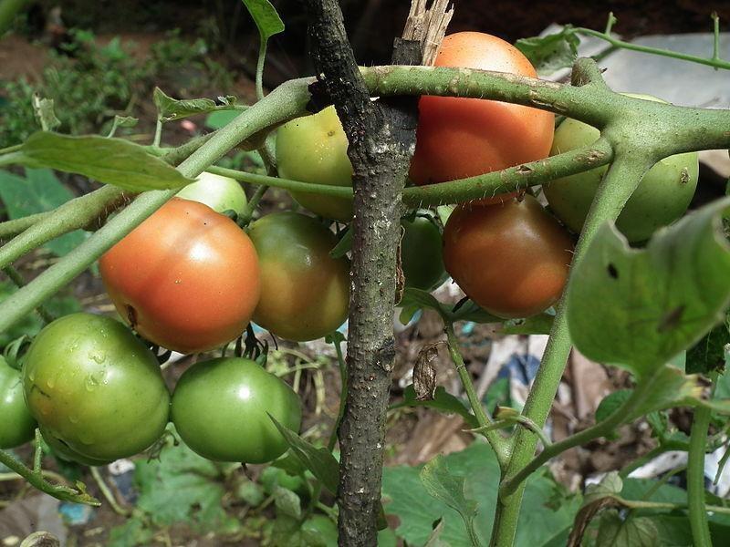 red adn green tomatos on vine